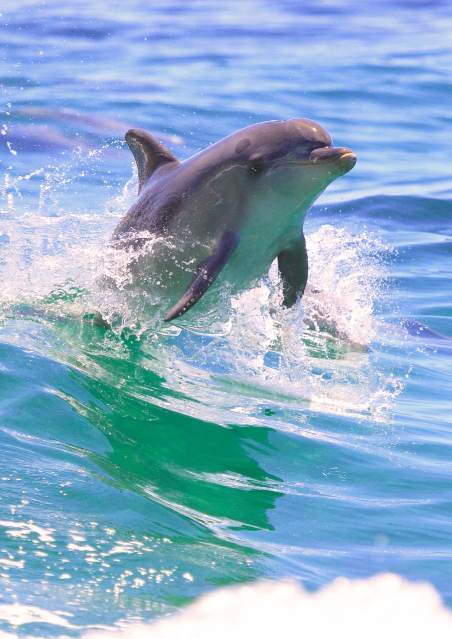 Dolphin Swimming alongside Boat