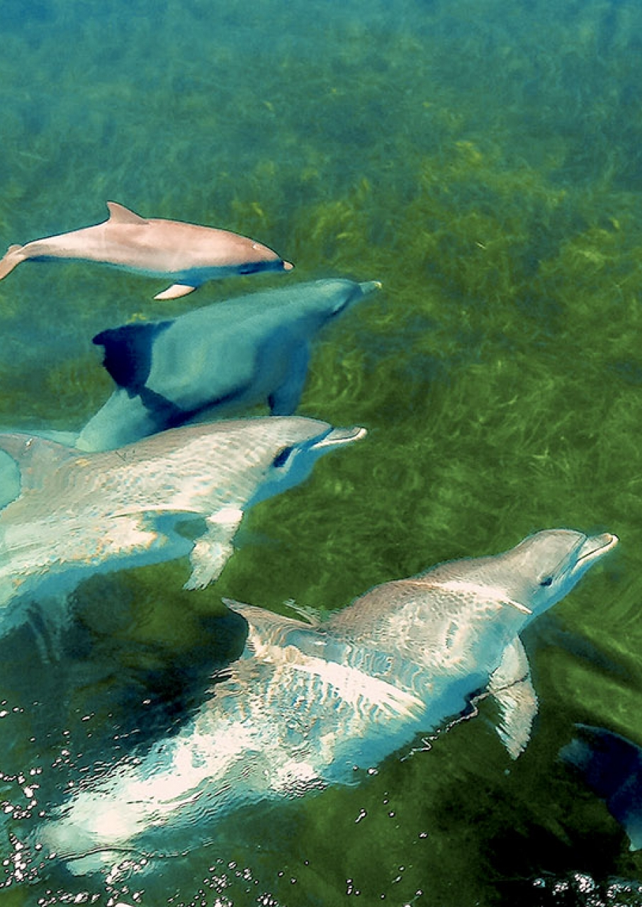 Bottle Nose Dolphins on Kanagroo Island South Australia